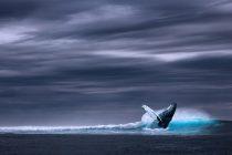 Grbavi kit koji je juče zalutao u reku Temzu preminuo