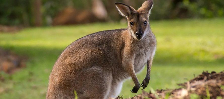 Tropski talas u Australiji ugrožava brojne životinje