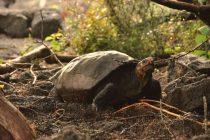 Džinovske kornjače vratile su se na Galapagos!