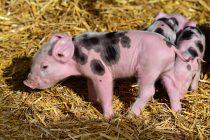 Svinje koriste alatke? Naučnici otkrili neverovatnu zanimljivost o ovim životinjama!