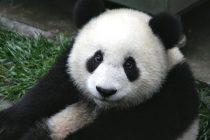 Zašto su pande ugrožena vrsta