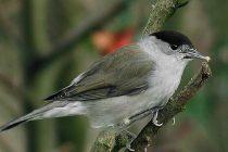 Kako su Britanci promenili seobe ptica