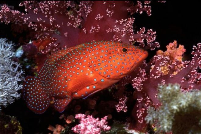 crvena-riba