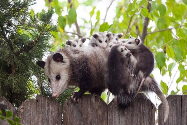 oposumi
