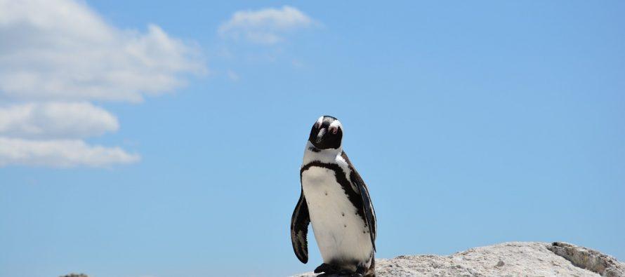Ovo je možda poslednji pingvin svoje vrste na planeti!
