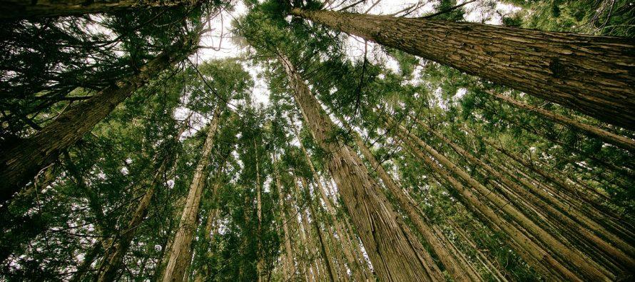 Priča o najvišem drvetu na svetu