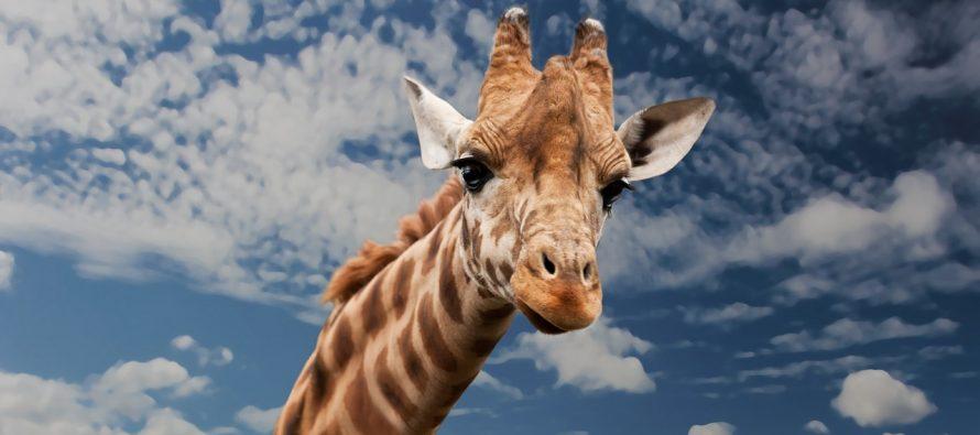 Psi laju, ptice cvrkuću, a žirafe?