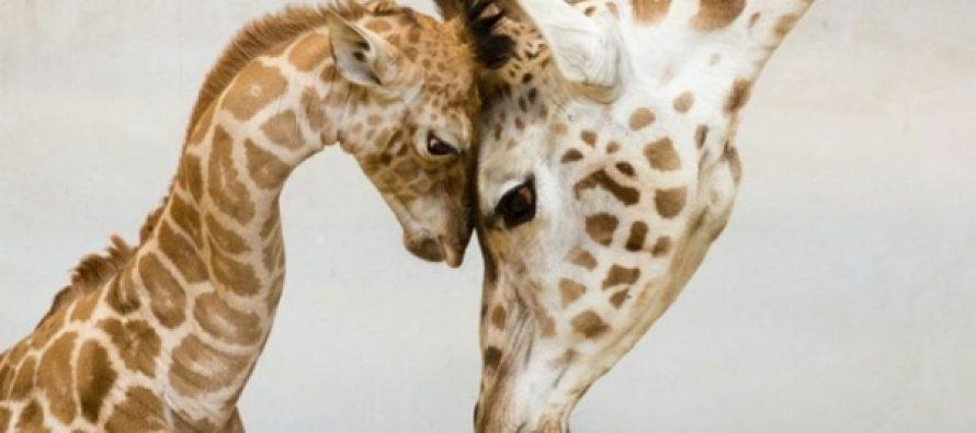 Kako velike vrste izumiru, druge životinje se smanjuju?