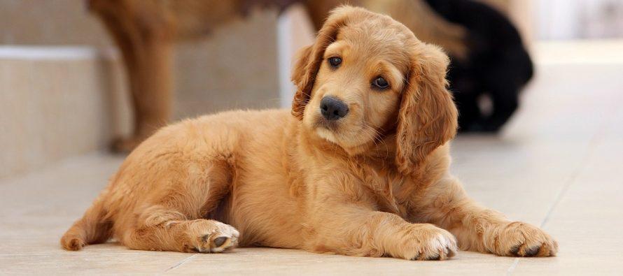 Zašto psi naginju glavu?