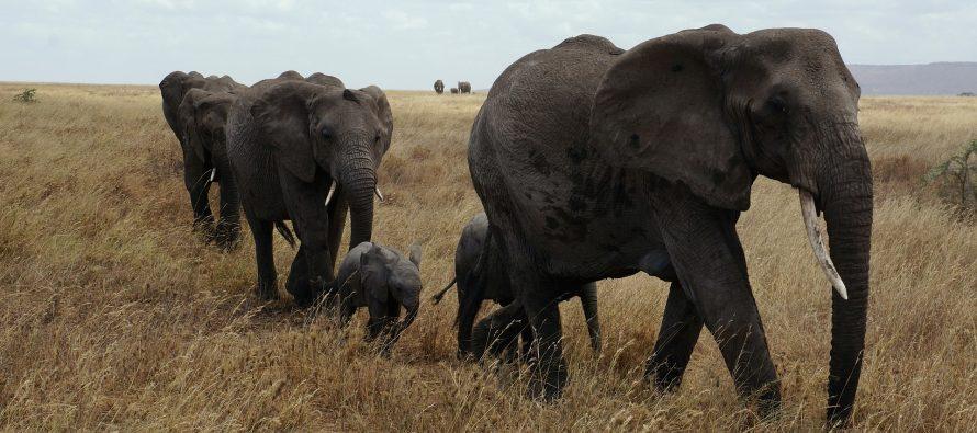 Interesantne činjenice o slonovima