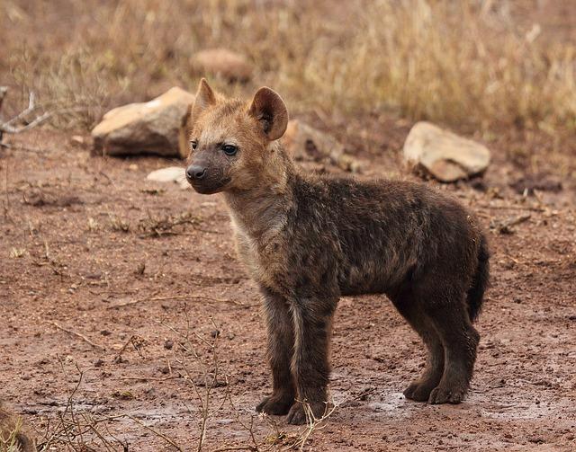hyene-puppy-1036478_640