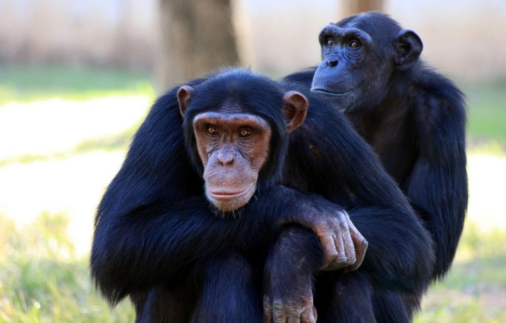 chimpanzee-88994_1280