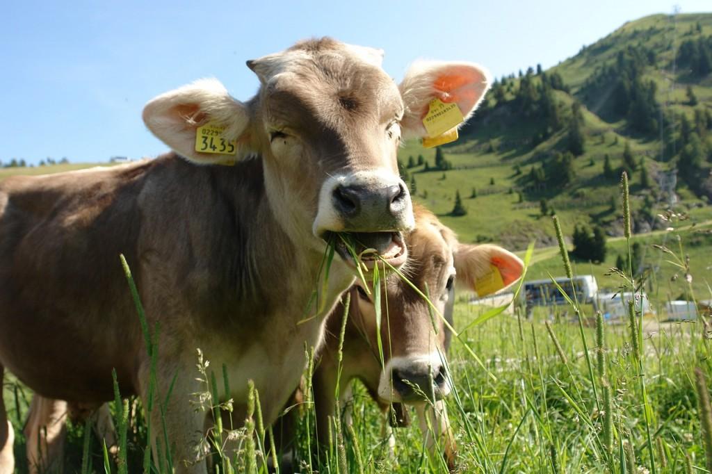cow-870358_1280