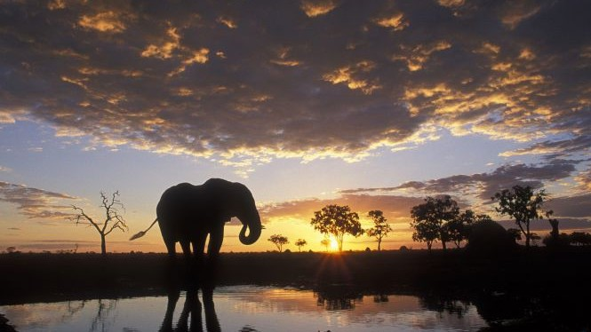 U Africi živi najveća kopnena životinja - afrički slon