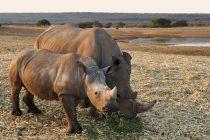7 zanimljivih činjenica o nosorozima!