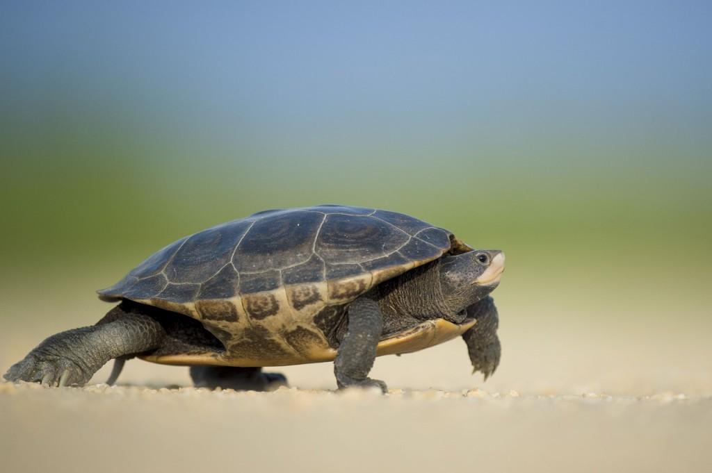 kornjaca hoda