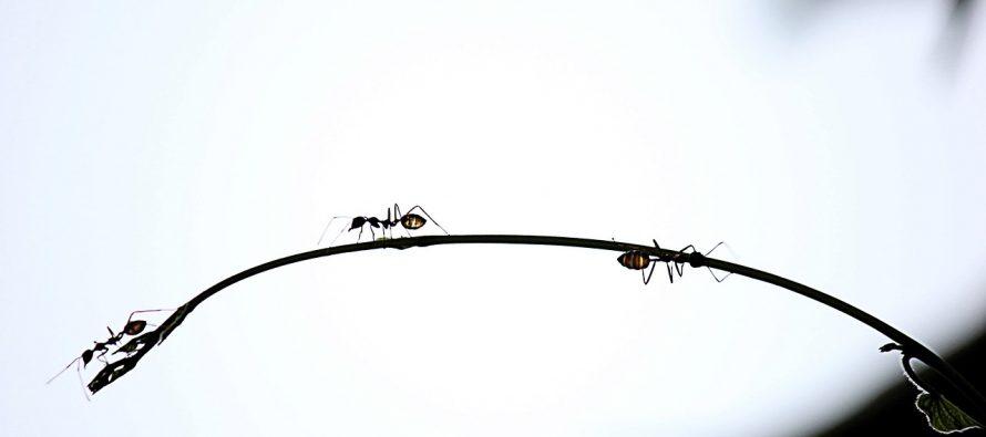 Mravi samoubice