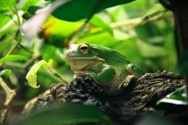 Otkrivena nova, fluorescentna vrsta žaba!