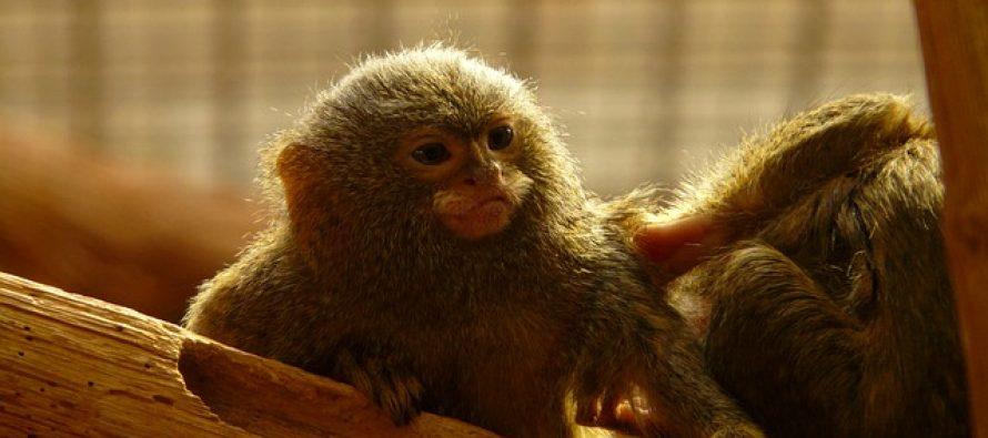 Otkrivena nova vrsta najmanjeg majmuna na svetu!