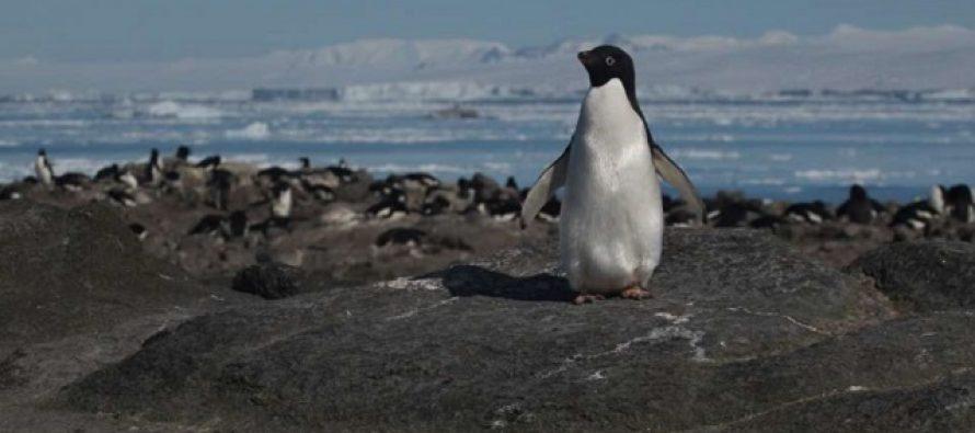 Otkrivena ogromna kolonija pingivna uz pomoć NASA satelita