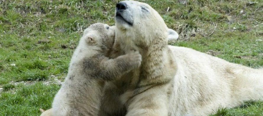 Prvi put posle pola veka engleski nacionalni park dobio prinovu: polarnog medveda (VIDEO)