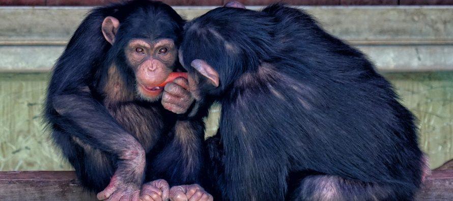 Kako se igraju šimpanze?