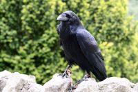 Naučnici dokazali da vrane poseduju višu inteligenciju