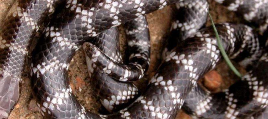 Otkrivena nova zmija otrovnica!