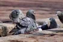 Kako golub pismonoša zna put?