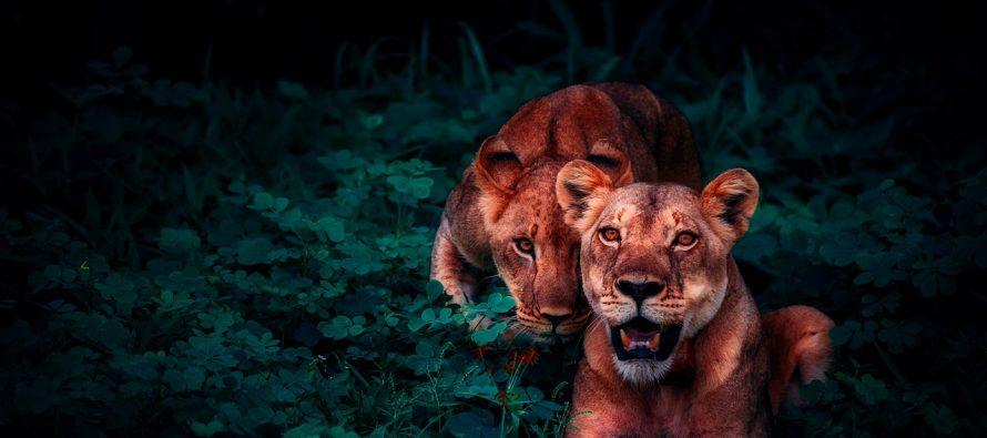 Porast broja ugroženih lavova!