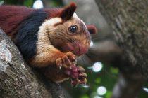 Džinovska veverica postoji?