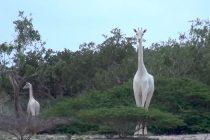 Da li ste čuli za bele žirafe?