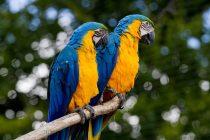 Papagaji mogu da se zarumene kao i ljudi?
