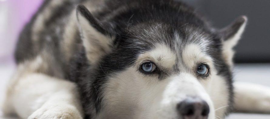 Zašto sibirski haskiji imaju plave oči?