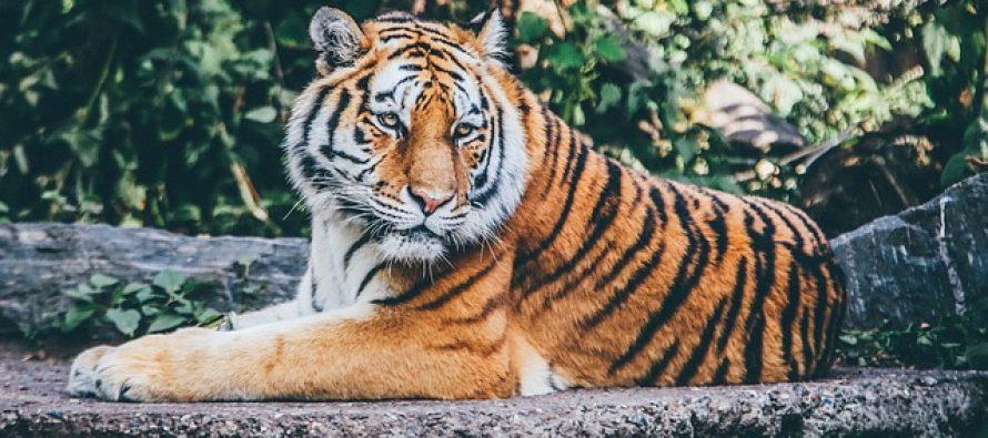 Zašto su tigrovi narandžasti?