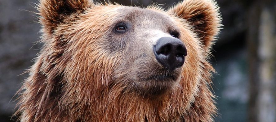 Ova medvedica postala je poznata po lopovluku!