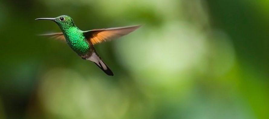 Ove ptice mogu da lete i unazad?
