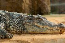 Znate li kako aligatori preživljavaju zimu?