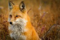 Lisica kao kućni ljubimac: Evopljani u bronzanom dobu nisu imali psa za najboljeg prijatelja