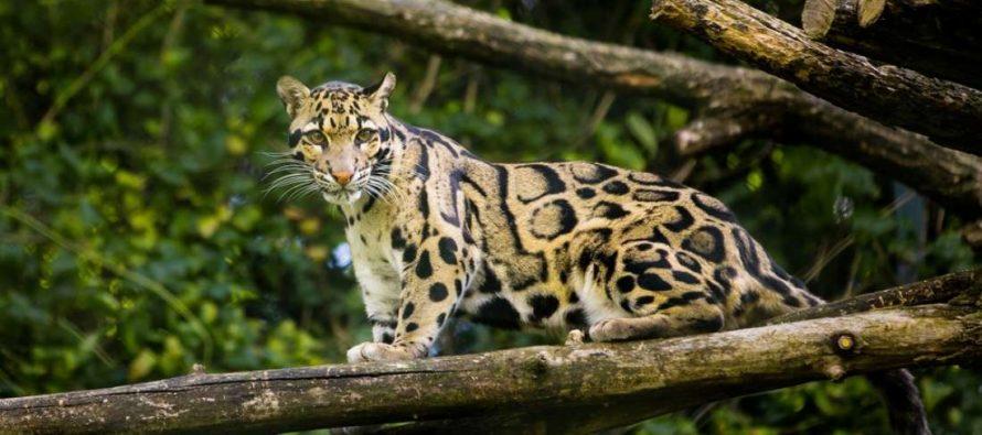 Primećena vrsta leoparda za koju se verovalo da je izumrla!