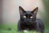 Zašto se veruje da crne mačke donose nesreću?