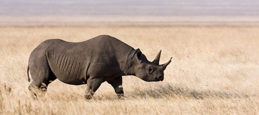 Ima nade za crnog nosoroga, čija populacija polako raste