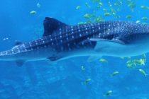 Kit-ajkula može živeti jako dugo