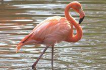 Zanimljive činjenice o ptici flamingo!