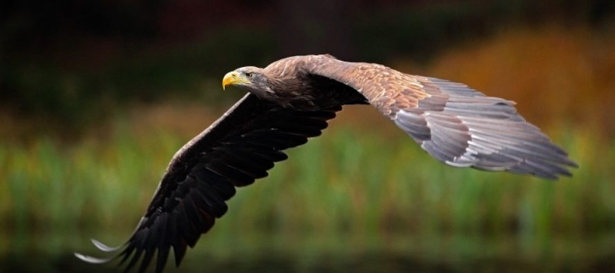 Zašto je uginula poslednja ženka orla belorepana u Srbiji?