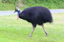 Najopasnija ptica na svetu!