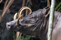Da li ste čuli za babirusu?