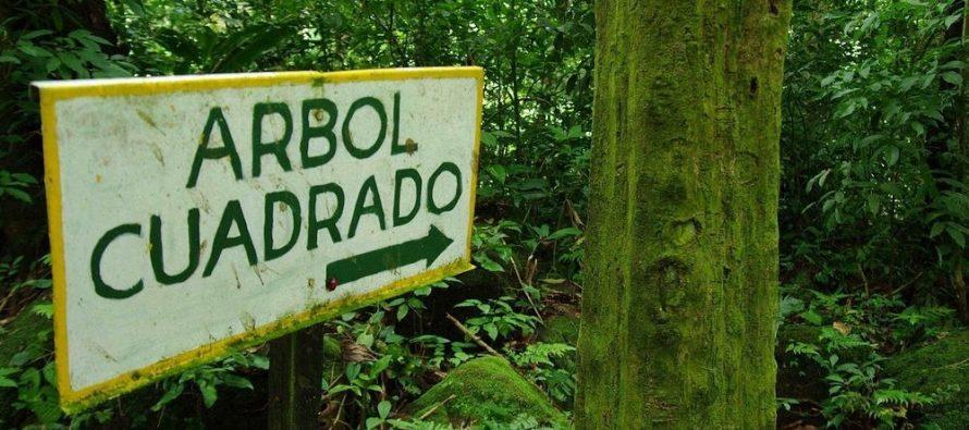 Dolina četvrtastih stabala u Panami!
