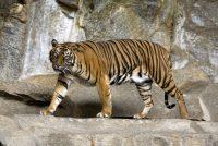 Sumatranski tigar