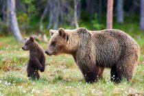 Mrki medvedi u Srbiji